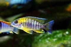 Het aquariumvissen van Malawi cichlid zoetwater stock afbeelding