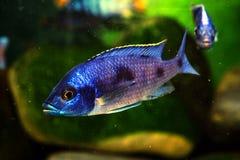 Het aquariumvissen van Malawi cichlid zoetwater royalty-vrije stock afbeelding