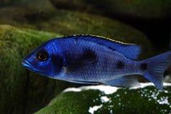 Het aquariumvissen van Malawi cichlid zoetwater royalty-vrije stock fotografie