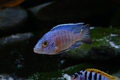 Het aquariumvissen van Malawi cichlid zoetwater stock afbeeldingen