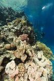 Het aquatische leven en een duiker in het Rode Overzees royalty-vrije stock foto's