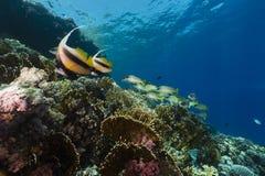 Het aquatische leven in het Rode Overzees stock foto's
