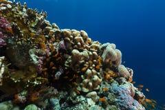 Het aquatische leven in het Rode Overzees stock afbeeldingen