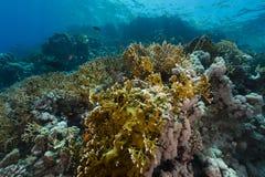 Het aquatische leven in het Rode Overzees royalty-vrije stock afbeelding