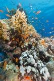 Het aquatische leven in het Rode Overzees royalty-vrije stock foto's