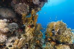Het aquatische leven in het Rode Overzees stock afbeelding