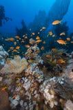 Het aquatische leven in het Rode Overzees royalty-vrije stock afbeeldingen