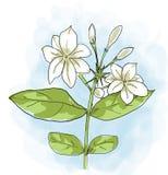 Het Arabische jasmijnbloem schilderen Stock Foto