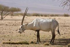 Het Arabische oryx eten Royalty-vrije Stock Afbeeldingen