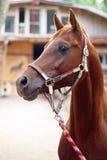Het Arabische paard bij een stal stock foto's