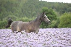 Het Arabische paard die van Nice op fiddleneckgebied lopen stock foto's