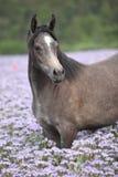 Het Arabische paard die van Nice zich op fiddleneckgebied bevinden royalty-vrije stock foto