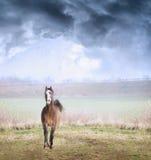 Het Arabische paard die van Yong op gebied over stromyhemel lopen Stock Afbeeldingen