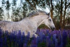 Het Arabische paard lopen vrij op een bloemweide Stock Afbeeldingen