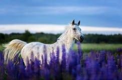Het Arabische paard lopen vrij op een bloemweide Royalty-vrije Stock Foto