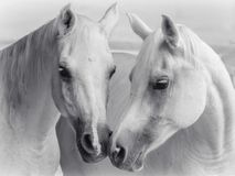 Het Arabische paarden kussen royalty-vrije stock fotografie