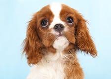 Het arrogante puppy van Charles Spaniel van de Koning Royalty-vrije Stock Afbeeldingen