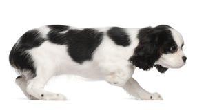 Het arrogante puppy van Charles Spaniel van de Koning Stock Afbeelding