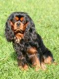 Het arrogante puppy van Charles Spaniel van de Koning Royalty-vrije Stock Foto
