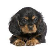 Het arrogante puppy van Charles van de Koning (7 weken) royalty-vrije stock afbeelding