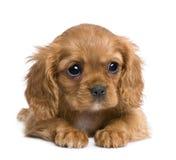 Het arrogante puppy van Charles van de Koning (7 weken) stock fotografie