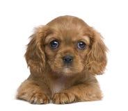 Het arrogante puppy van Charles van de Koning (7 weken) stock foto's