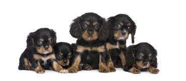 Het arrogante puppy van Charles van de Koning in een rij (7 weken) stock afbeelding
