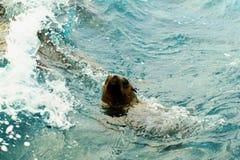 Het Australische bontverbinding zwemmen Stock Afbeeldingen