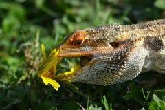Het Australische Gebaarde Draak voeden Stock Afbeelding