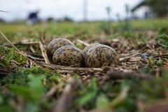 Het Australische gemaskeerde nest en de eieren van de kievitplevier royalty-vrije stock afbeeldingen