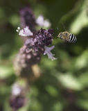 Het Australische inheemse vliegen van bijenamagilla Stock Foto