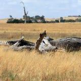Het Australische landschap van het binnenland met dood hout Stock Foto