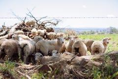 Het Australische Merinosdielandbouwbedrijf van wolschapen buiten Griffith, in Nieuw Zuid-Wales wordt gevestigd Stock Fotografie