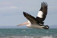 Het Australische pelikaan vliegen stock fotografie