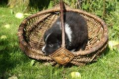 Het Australische puppy van de Herder stock fotografie