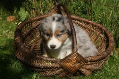 Het Australische puppy van de Herder stock foto
