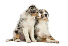 Het Australische puppy van de Herder, 3 maanden oud, het zitten Royalty-vrije Stock Fotografie