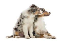 Het Australische puppy van de Herder, 3 maanden oud, het zitten Stock Foto