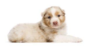 Het Australische puppy van de Herder, 30 oude dagen, het liggen Stock Foto's