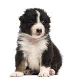 Het Australische puppy van de Herder, 30 oude dagen, het zitten Royalty-vrije Stock Afbeeldingen