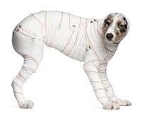 Het Australische puppy van de Herder in verbanden Stock Fotografie