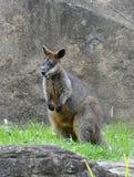 Het Australische Wild - de Wallaby van het Moeras Stock Afbeeldingen