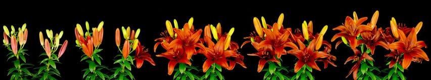 Het Aziatische Bloeien van Lelies Stock Foto