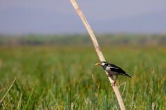 Het Aziatische bonte starling (Sturnus contra) Royalty-vrije Stock Foto's