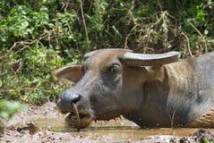 Het Aziatische hoofd van moerasbuffels Stock Foto
