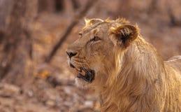 Het Aziatische mannetje van de Leeuw Stock Afbeelding