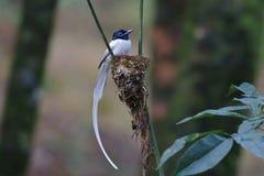 Het Aziatische nest van morphvogels van de paradijsvliegenvanger Mannelijke witte royalty-vrije stock foto