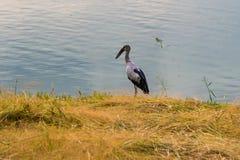 Het Aziatische open rekening voederen op de kust met groen gras en wate Royalty-vrije Stock Afbeelding
