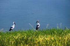 Het Aziatische open rekening voederen op de kust met groen gras en wate Stock Foto's