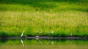 Het Aziatische open rekening voederen op de kust met groen gras en wate Stock Afbeelding